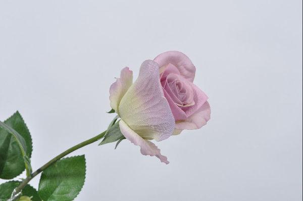Billede af Støvet lilla Rose