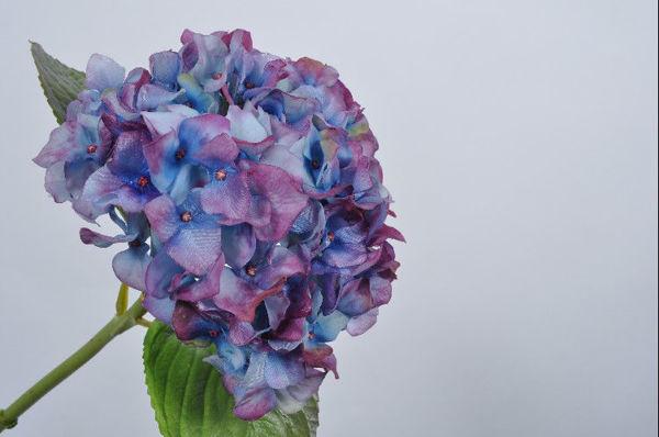 Billede af Blå lilla Hortensia